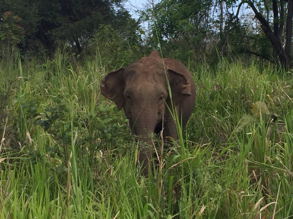 elefantes-salvajes-cerca-de-habarana-copia